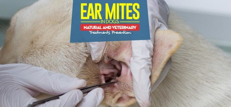 Is Your Dog Suffering From an Ear Mite Infection Or a Flea Infestation?
